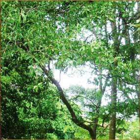Дерево сандалове