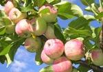 Користь яблук для здоров'я