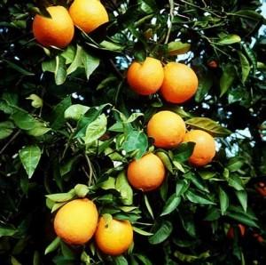 Помаранча - гіркий вид апельсина