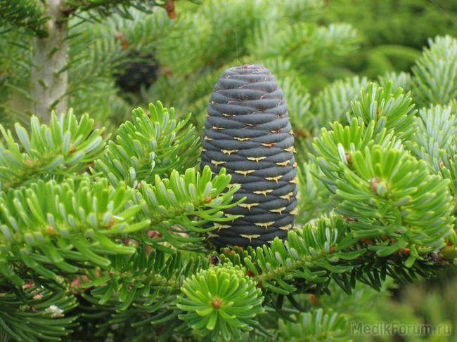 Корисне для здоров'я дерево