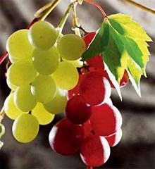 Виноград це одне з найдавніших і шанованих рослин на Землі