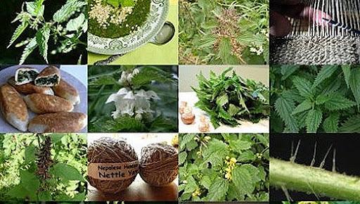активних елементів можна пояснити корисні властивості кропиви.